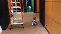 Un bulldog a peur de marcher devant une échelle.. Marche arrière toute !