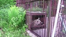 E' stato rinchiuso 30 anni in una gabbia. Ecco cosa succede quando lo liberano!