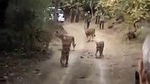 Lion - Gir Century (Gir Forest National Park)