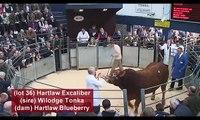 Hartlaw Limousin sell Hartlaw Excaliber Limousin Sale - Borderway Mart, Carlisle - 16/10/2010
