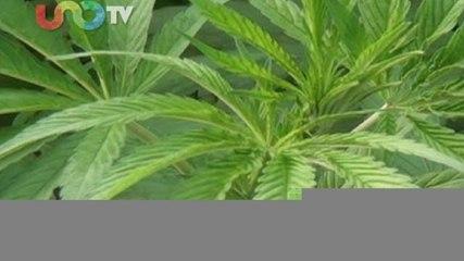 Ana Paula Cinta. Esperemos que el debate de la marihuana lleve a la legalización