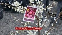 Fruit Trees in Bucks County   Bruce Plum Trees