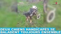 Deux chiens handicapés se baladent toujours ensemble ! Découvrez-les dans la minute chien #165