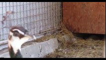 The Animal Sounds Song _ Camel Laughs Like Peter Griffin Funny  Videos of novembre 2015