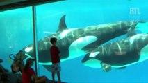 VIDÉO - Les orques en captivité vont disparaître chez Seaworld
