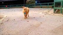 進撃のヤギ