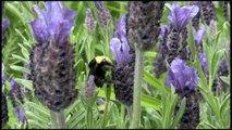 Bumblebee on Lavender using Canon HV40 in cinema mode