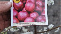 About     Fruit trees for residental landscape spaces... The Bruce Plum Trees