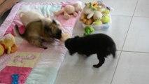 Le tir à la corde vu par 3 bébés Chihuahua de 10 semaines