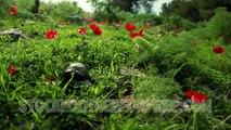 "Free Animal Stock Footage ""Turtle in Field of Flowers"""
