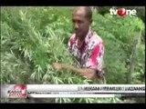 Polisi Aceh Musnahkan Satu Hektar Ladang Ganja Siap Panen