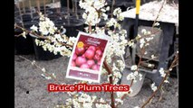Fruit trees........ for residental landscape spaces... The Bruce Plum Trees