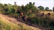 Lions Lions Lions - four airmen killed a lion wandering herds.