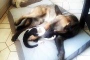 Chaton qui s'attaque à chien malinois croisé berger allemand ;) kitten and dog