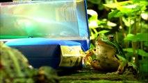 SMOKING FROGS - Rana fumar - 喫煙カエル - курение лягушка