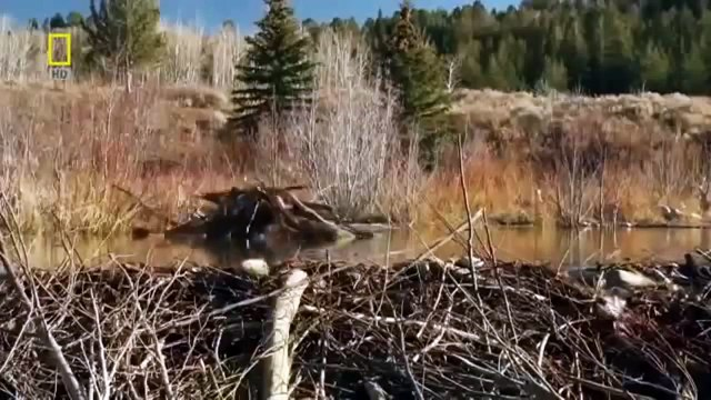 How Beavers Build Dams   Leave it to Beavers   PBS