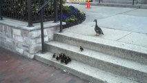 A mother duck with her little ducklings trying to climb stairs