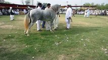 Horse Dance In Pakistan 2015 - video dailymotion