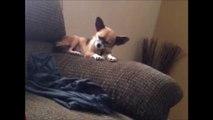 Un Chihuahua exténué va finir par terre. Grosse gamelle