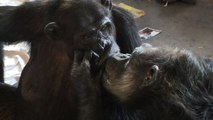 Chimps Who Warmed Your Heart Holding Hands are Captured Kissing