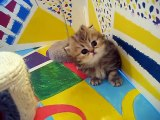 Cute Persian kittens  the  I  Litter 1 of  - 7.10.11