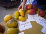 Which Variety of Florida Mango Is The Best? (Mangoes from Truly Tropical South Florida)