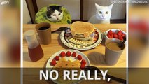 Cats Watch Owners Eat Food, Internet Loves It