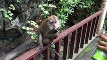 Pourquoi il ne faut pas donner des chips à un singe ?