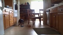 Clever Beagle Steals Peanut Butter All For Himself