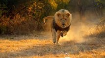 The killer attack wild lions in action Life of Lions  , lions documentary national geographic 2016