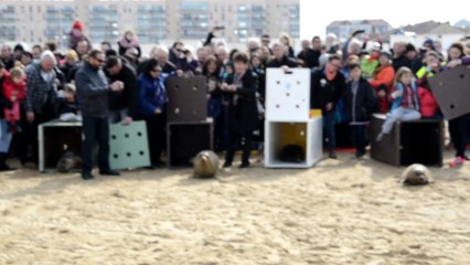 Lâcher de phoques sur la plage de Calais le 26 mars 2016