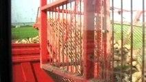 Arrachage des betteraves 2009