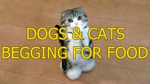 Funny cats and dogs begging for food - Cute animal compilation