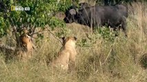 Discovery channel animals documentaries - Botswana Lion - Nature documentary 2016 Animal p