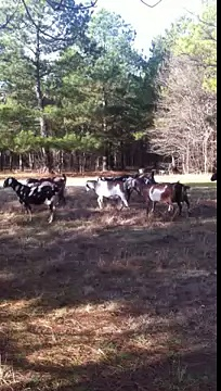 Texas Nubian Dairy Goats