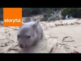Orphaned Baby Wombat Derrick Loving Life on Tasmanian Island