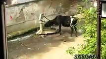 Funny Animal   Funny Cow   So Clever Cow from India   Clever गाय   Funny Clip   HD