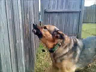 German Shepherd Breaks Fence