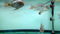 Red Head Tapajos Geophagus 4-5 inch & Geophagus Altifrons 3-4 inch