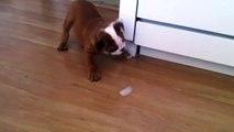 Ce bulldog prend un glaçon, et l'utilise pour inventer le meilleur jeu de tous les temps. C'est adorable !