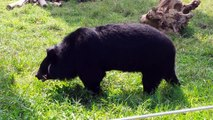 Special bears:  Bears with disabilities (at Animals Asia's Vietnam Bear Sanctuary)