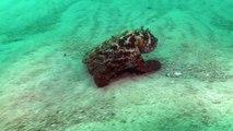 Une raie cachée dans le sable attaque une pieuvre camouflée ! Combats sous-marins