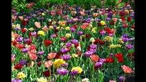 Canadian Tulip Festival/Festival canadien des tulipes