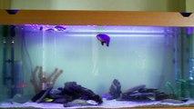 Nouvel aquarium cichlidés