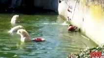Polar Bear mauling woman @ German Zoo in Berlin - Polar Bear Zoo Berlin