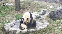 Cette maman panda oblige son petit à prendre son bain. Adorable