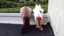 Des chats siamois