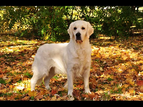 Golden Retriever – YouTube