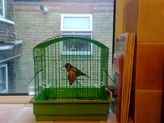 Maknin..Chardonneret..Goldfinch. (LONDON)