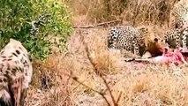 Lion Vs Hyena, Cheetah Vs , Leopard Hyena Real Fight compilation Animal Attack